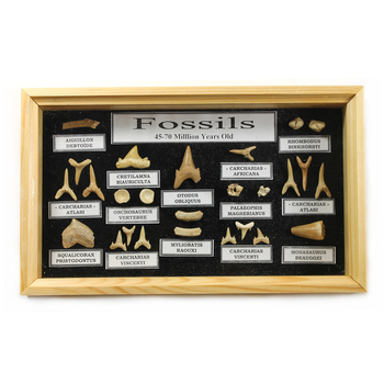 Shark Tooth Collection