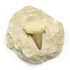 Sharks Tooth Fossil on Matrix